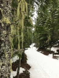 bearded lichen